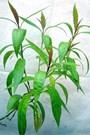 Tác dụng của cây hoàn ngọc: chữa bệnh về đường tiêu hóa
